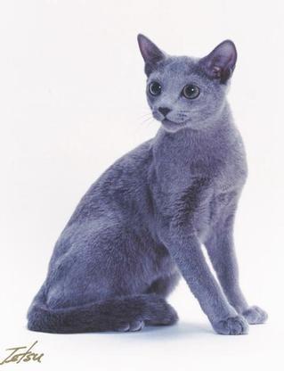 bluestar  a blue gray she cat